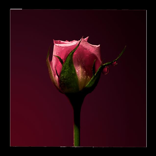 Rose Shot Extract 15 <span class='min_ml'> ML</span>